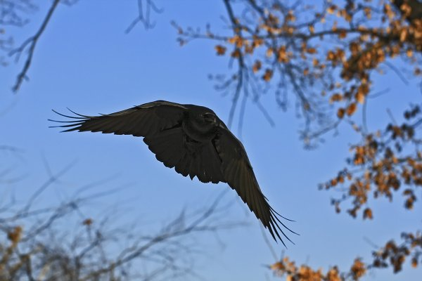 Stealth-Crow.jpg